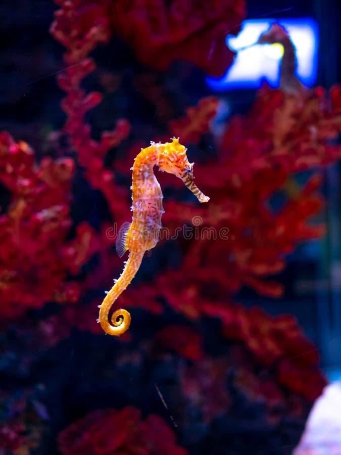 Caballo de mar en acuario Estos seahorses viven en los mares calientes alrededor de Indonesia, de Filipinas y de Malasia imagen de archivo libre de regalías