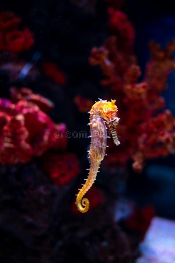 Caballo de mar en acuario Estos seahorses viven en los mares calientes alrededor de Indonesia, de Filipinas y de Malasia fotos de archivo libres de regalías