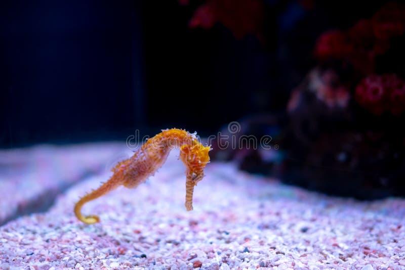 Caballo de mar en acuario Estos seahorses viven en los mares calientes alrededor de Indonesia, de Filipinas y de Malasia imagen de archivo