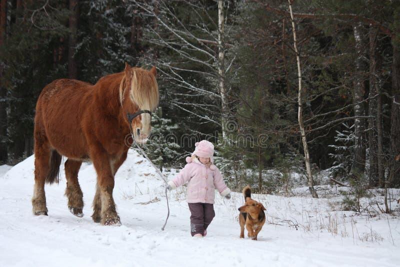 Caballo de proyecto grande principal de la niña linda en invierno fotos de archivo