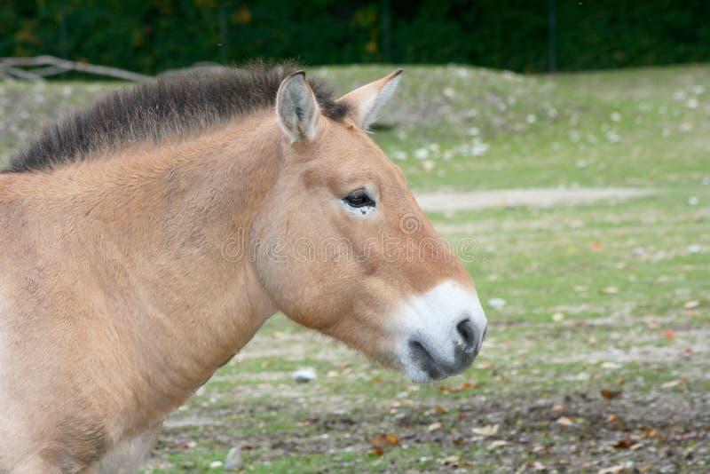 Caballo de Przewalski (przewalskii del ferus del Equus) fotos de archivo libres de regalías