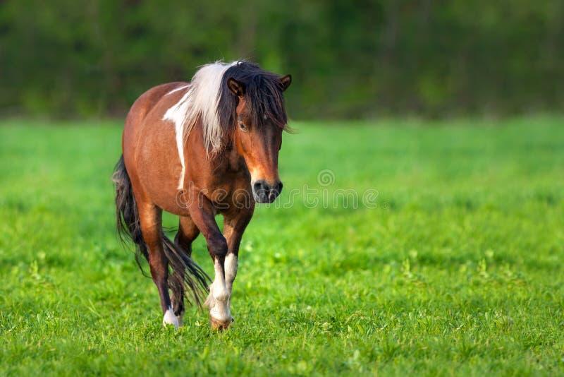 Caballo del caballo pío de la bahía imagen de archivo libre de regalías