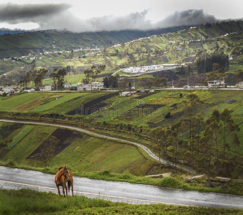 Caballo del Ecuador fotografering för bildbyråer