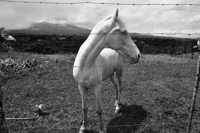 Caballo del EL Sabino White imagen de archivo libre de regalías