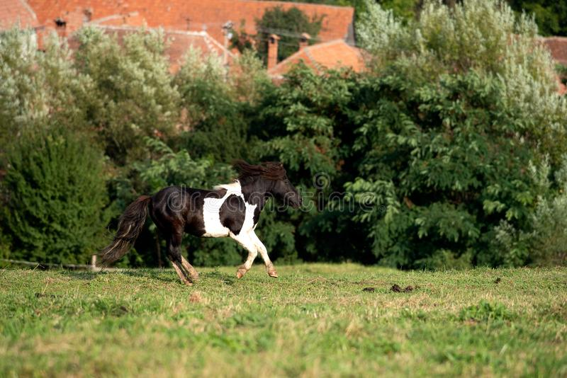 Caballo del potro que corre en la granja de la montaña fotografía de archivo