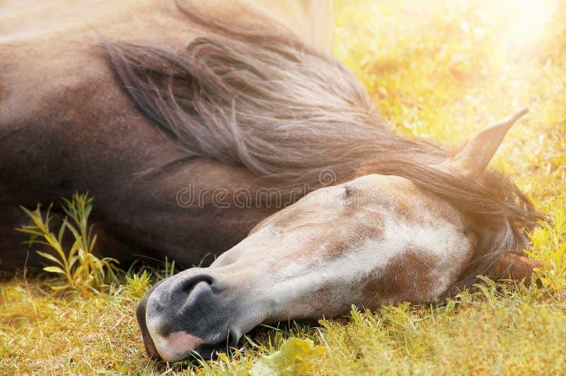 Caballo el dormir en hierba del otoño en luz del sol imagenes de archivo