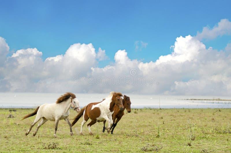 Caballo en los caballos del pasto que corren en un pasto con el cielo azul imagen de archivo libre de regalías