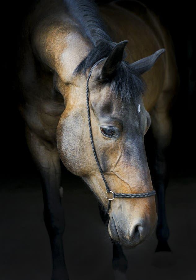 caballo en un halter con una melena oscura en un fondo negro imagen de archivo libre de regalías