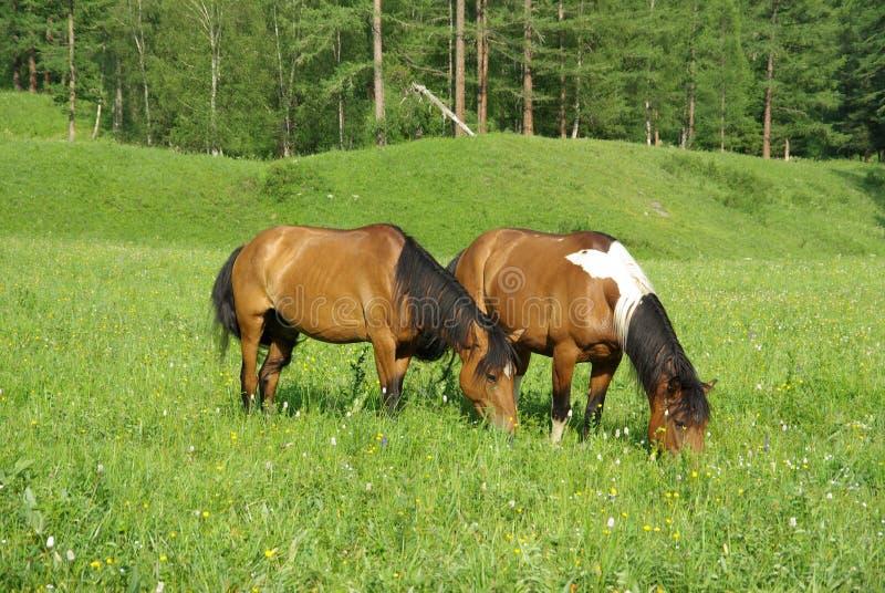 Caballo entre hierba verde en naturaleza Caballo derecho aislado Pasto de caballos en el pueblo imágenes de archivo libres de regalías
