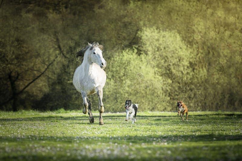 Caballo español, perros del border collie y del boxeador que juegan junto en un prado fotos de archivo
