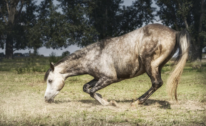 Caballo gris libre que se arrodilla en el fondo del pasto Forma de vida feliz de los caballos fotos de archivo libres de regalías