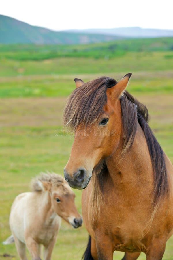 Caballo islandés imágenes de archivo libres de regalías