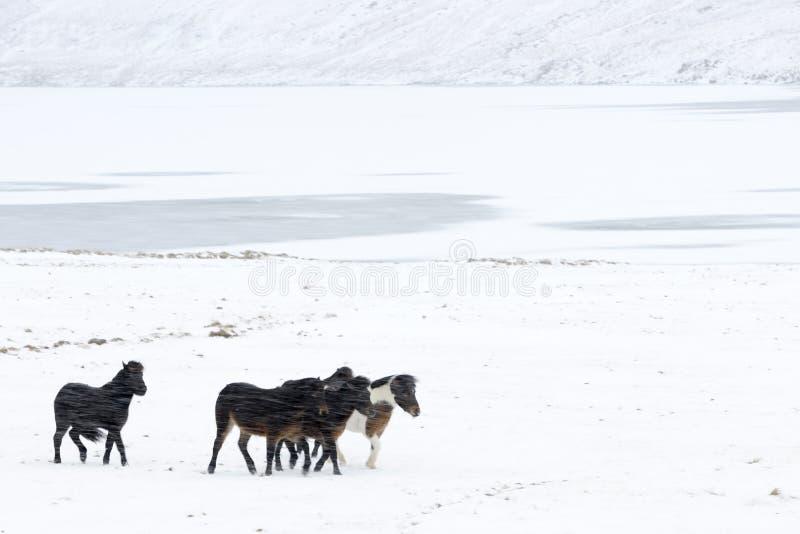 Caballo islandés fotos de archivo libres de regalías