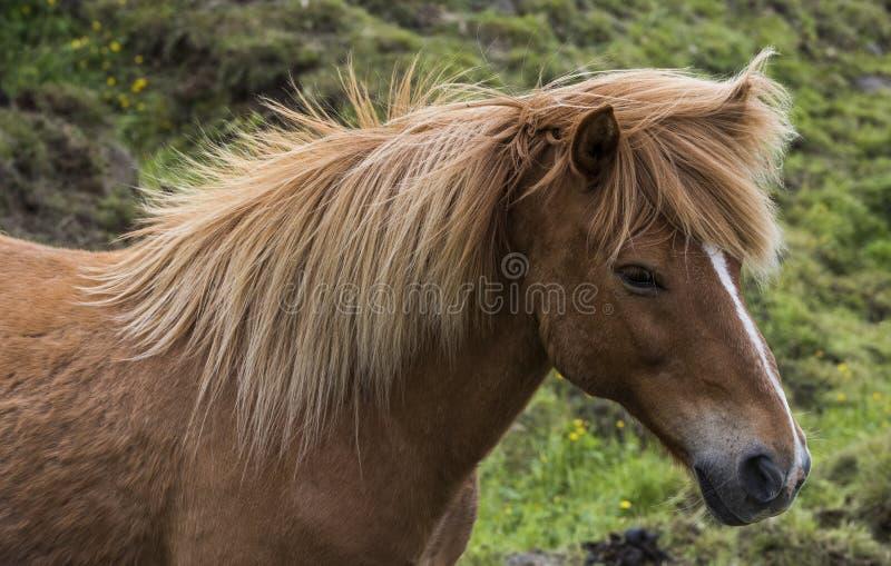 Caballo islandés con las melenas fotografía de archivo