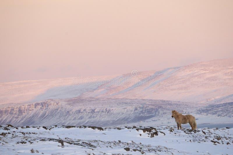 Caballo islandés en invierno - en la salida del sol foto de archivo