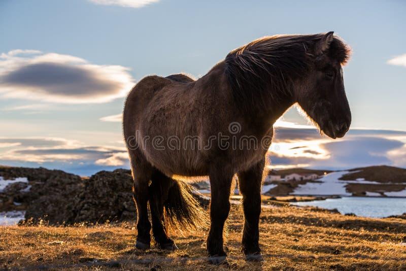 Caballo islandés en la puesta del sol imagen de archivo
