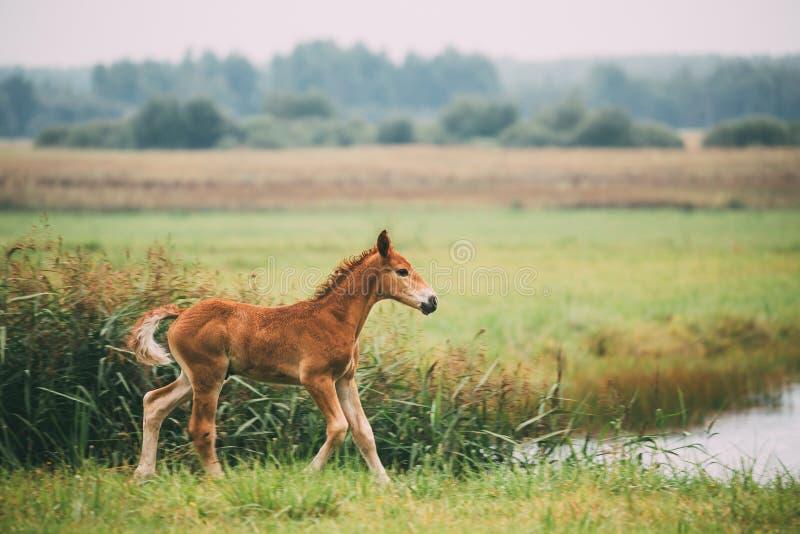 Caballo joven del potro que camina en prado verde cerca del río en el SE del verano imagen de archivo