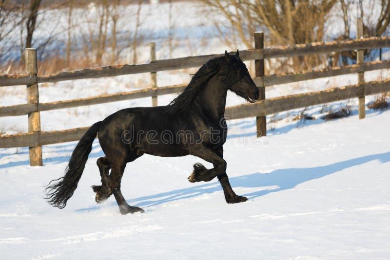 Caballo negro del frisian en invierno fotos de archivo