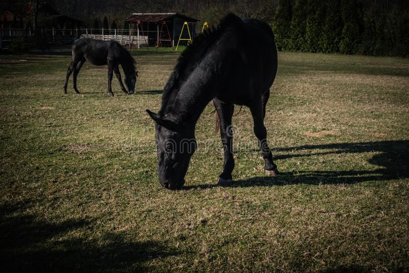 Caballo negro dos en campo verde en un sol imágenes de archivo libres de regalías