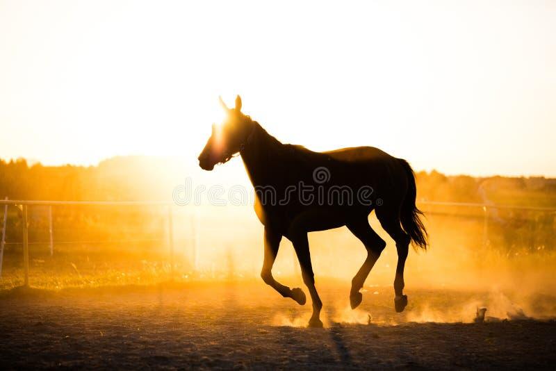 Caballo negro que corre en el prado en la puesta del sol imagenes de archivo