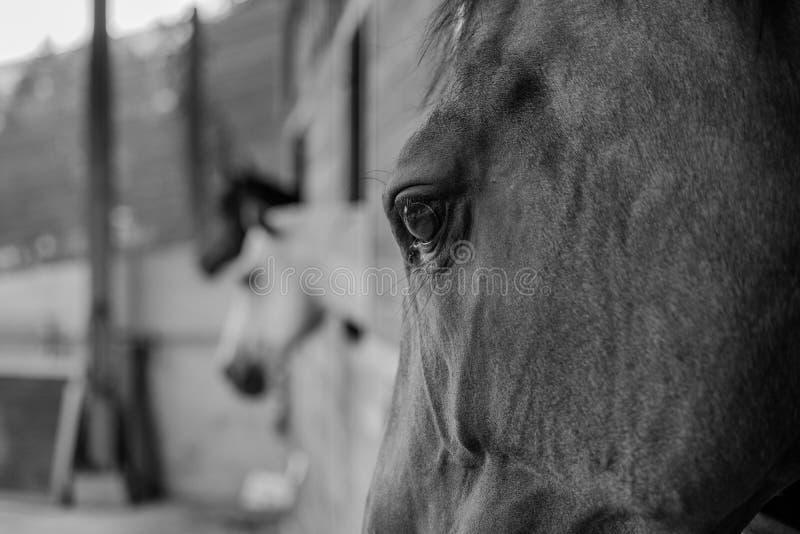 Caballo - ojo de los caballos imagen de archivo
