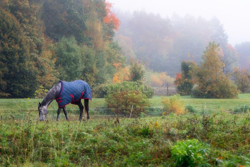 Caballo pedigrí con la capa que come la hierba, rodeada por autum de niebla imagenes de archivo
