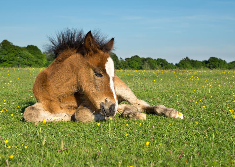 Caballo Pony Foal imagenes de archivo