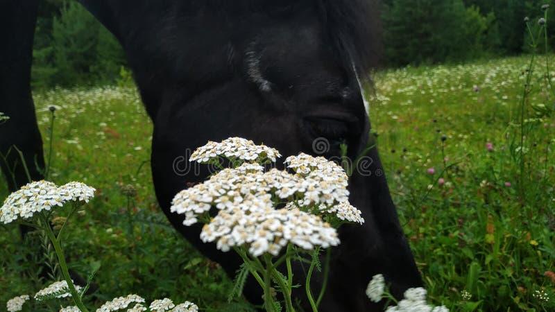 Caballo que come cerca de la flor fotos de archivo