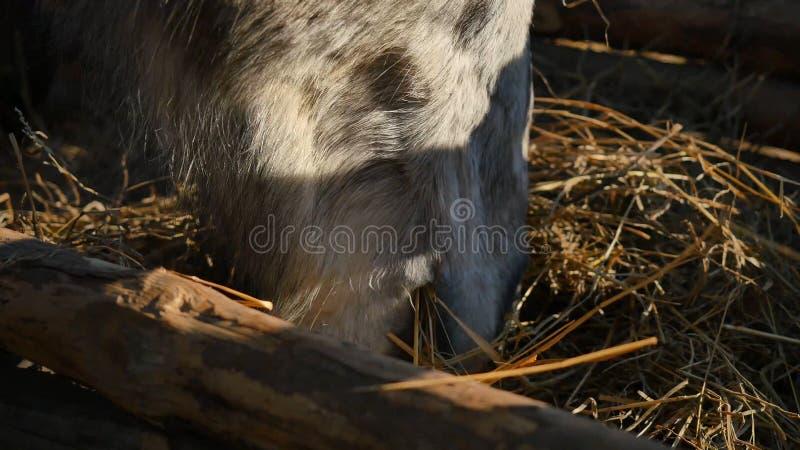 Caballo que come la hierba Caballo fuerte hermoso bien arreglado que mastica el heno, primer imagenes de archivo
