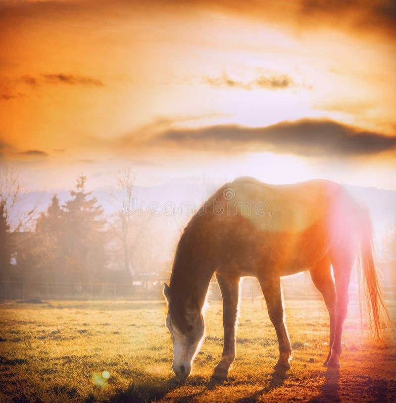 Caballo que pasta en la puesta del sol en prado del otoño imagen de archivo