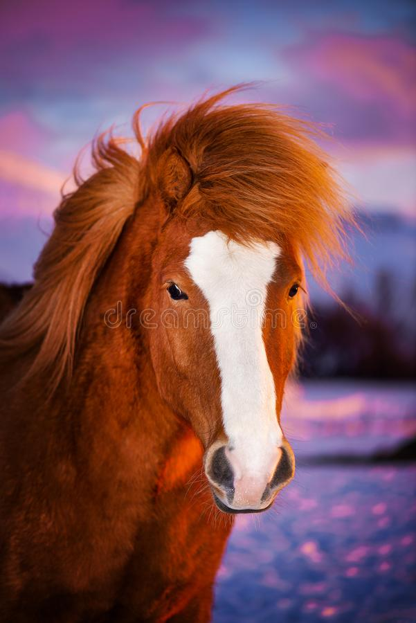 Caballo rojo hermoso con la melena larga Retrato de un caballo islandés en un fondo de la puesta del sol fotos de archivo libres de regalías