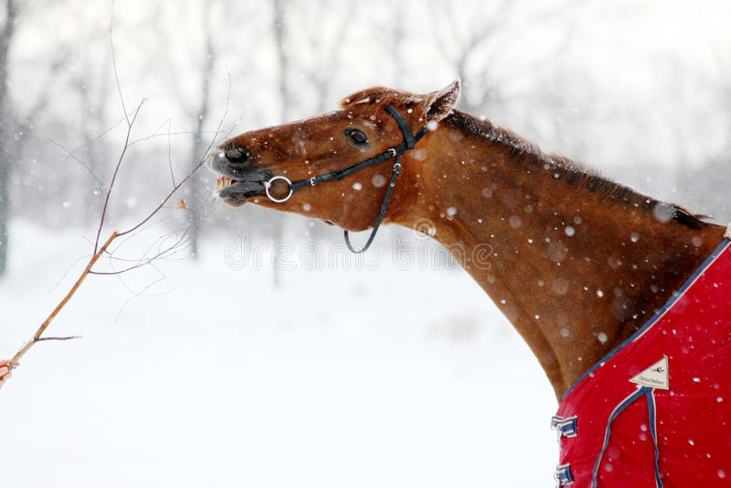 Caballo rojo que come la ramificación en invierno imagenes de archivo