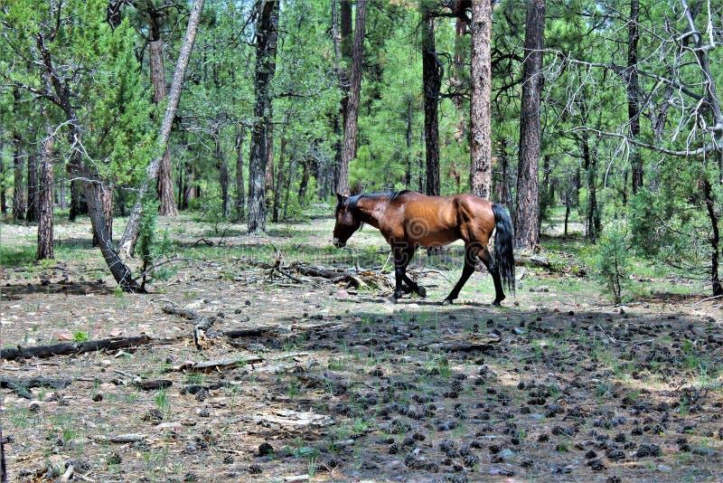 Caballo salvaje en el área de la perspectiva de la burguesía alta, bosque del Estado de Apache Sitgreaves, Arizona, Estados Unido imagenes de archivo
