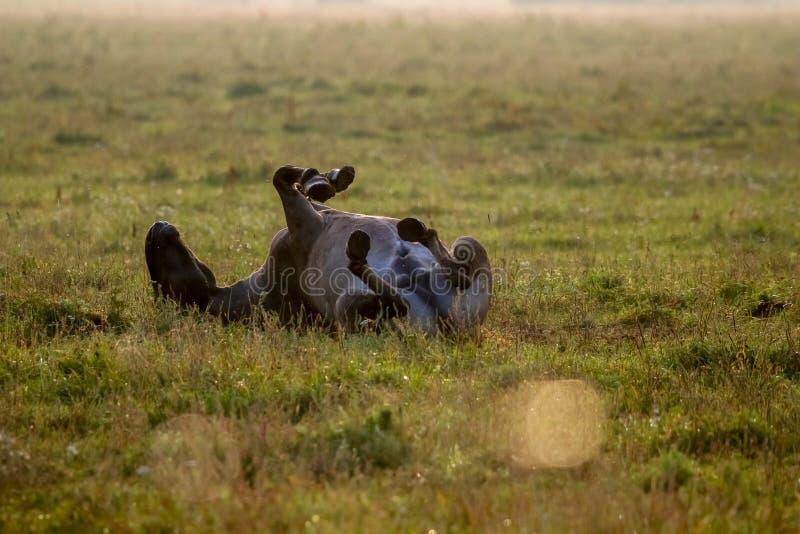 Caballo salvaje que duerme en el prado en mañana de niebla del verano imágenes de archivo libres de regalías