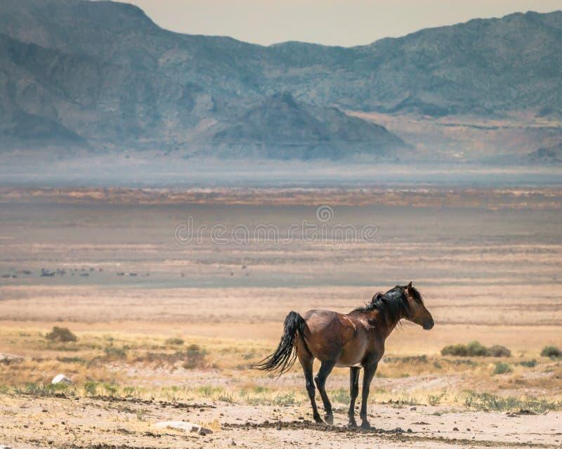 Caballo solitario en meseta del desierto imagenes de archivo