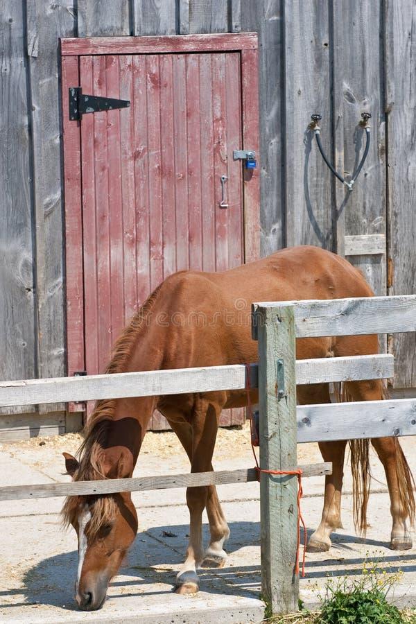 Caballo solitario que come delante de puerta de granero roja imágenes de archivo libres de regalías