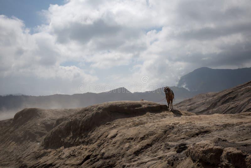 Caballo solo en el volcán activo hermoso con el soporte Bromo del humo fotos de archivo libres de regalías