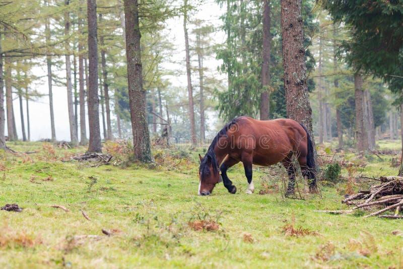 Caballo vasco de la raza del caballo de la montaña que pasta en la montaña imágenes de archivo libres de regalías