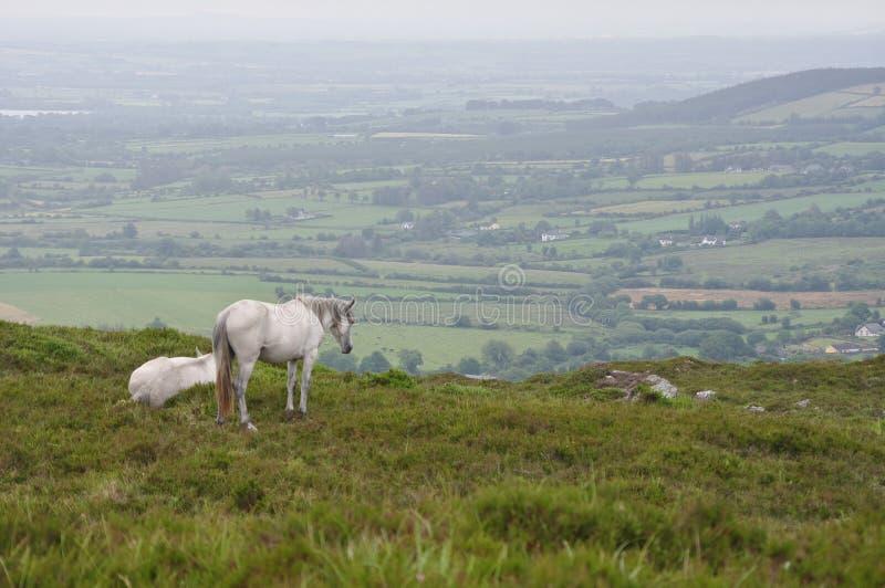 Caballos blancos que miran sobre el campo irlandés - paisaje imagen de archivo libre de regalías