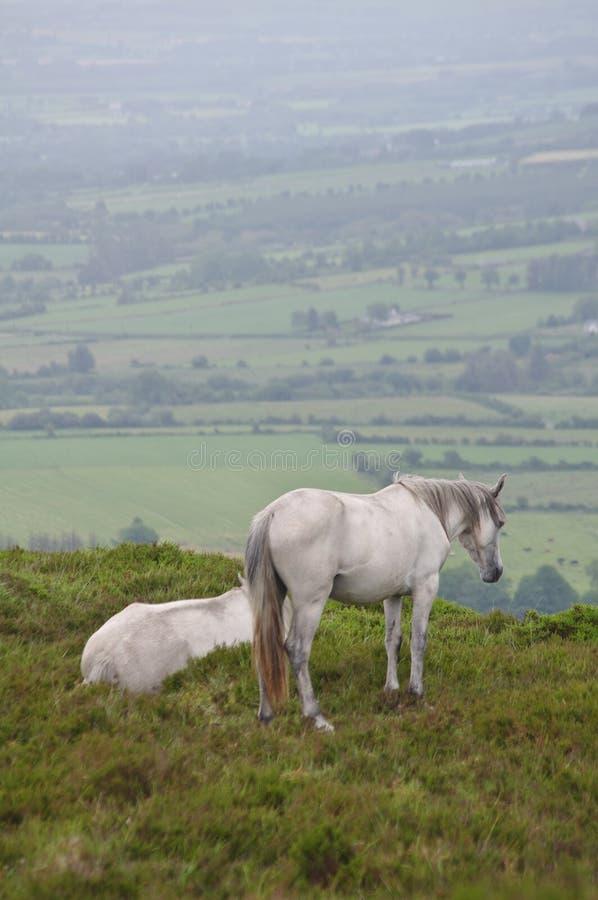 Caballos blancos que miran sobre el campo irlandés - retrato foto de archivo