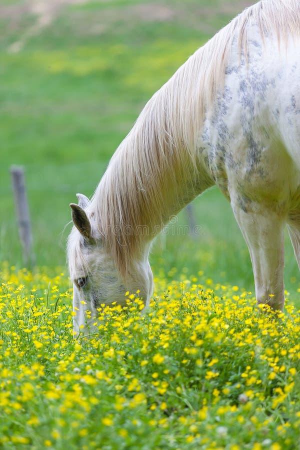 Caballos blancos que pastan en un campo enorme cubierto con el campo de flor amarillo en las Grandes Montañas Humeantes parque na imágenes de archivo libres de regalías