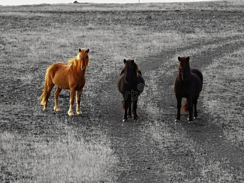 Caballos curiosos de Islandia fotografía de archivo
