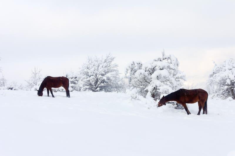 Caballos de Brown en pasto del invierno imágenes de archivo libres de regalías