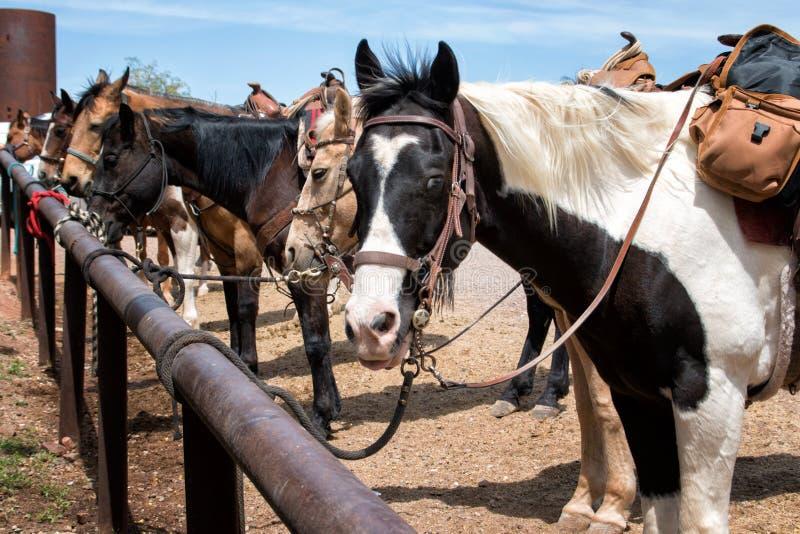 Caballos de montar a caballo en el país imagenes de archivo