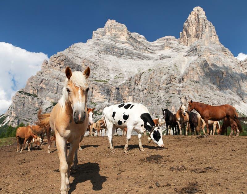 Caballos debajo de Monte Pelmo en italiano Dolomities fotografía de archivo
