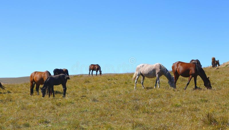 Caballos en Autumn Caucasus Meadow fotografía de archivo