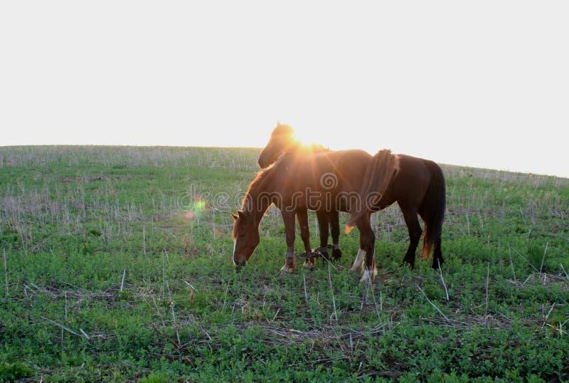 Caballos en el amanecer del sol de la mañana foto de archivo libre de regalías