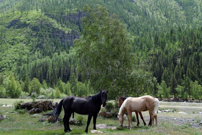 Caballos en el banco del río Chuya, república de Altai, Siberia imagenes de archivo