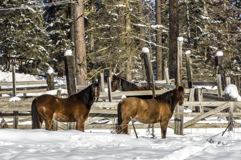 Caballos en el campo nevoso fotografía de archivo libre de regalías