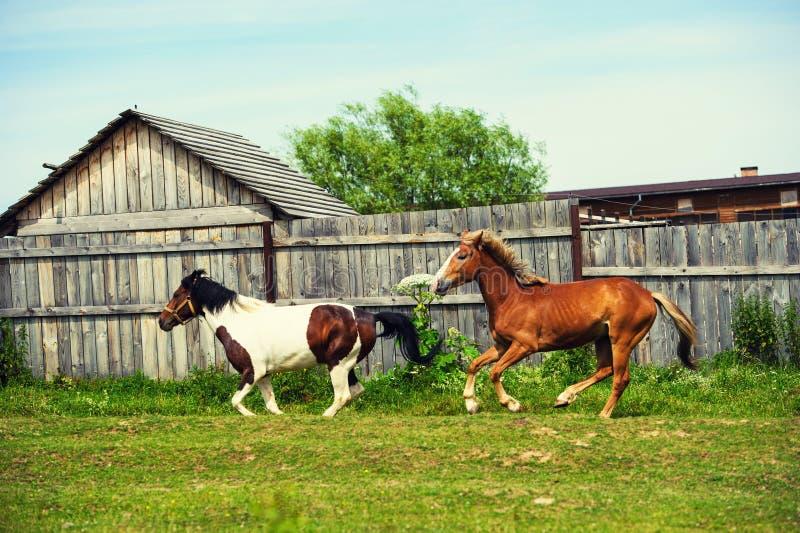 caballos en el pasto cerca de la casa imágenes de archivo libres de regalías